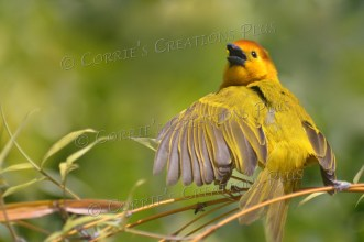 The Taveta golden weaver spreads his wing