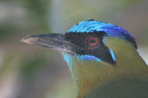 The blue-crowned motmot is native to South America.