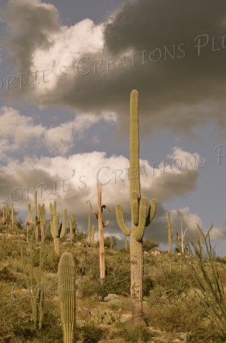 Saguaro cacti in the Catalina Mountains near Tucson; photo taken in antique setting