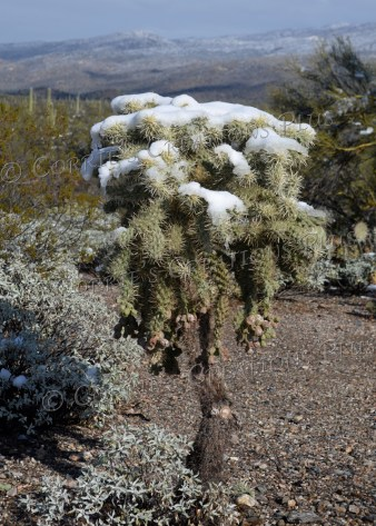 Snow covers the teddy-bar cholla cactus; southeastern Arizona