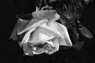 I took several photos of roses after a rainy night in Tucson.