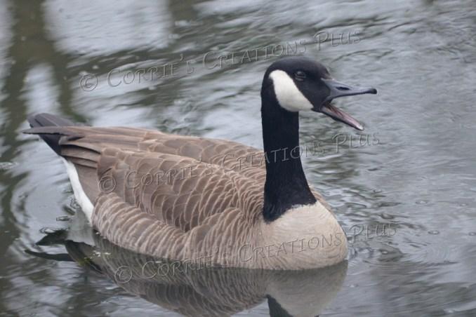 Canada goose. Photo taken in southeastern Nebraska