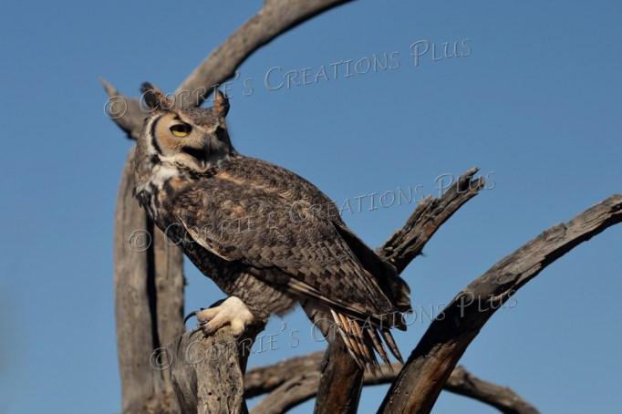 Notice the open beak on this great horned owl.