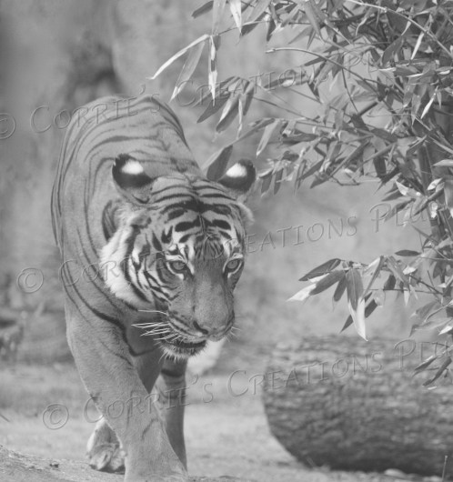 Black-and-white photos of this tiger add a nice touch