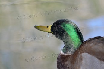A single droplet of water hangs from the beak of this drake mallard duck.