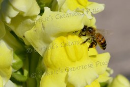 Honeybee on yellow snapdragons