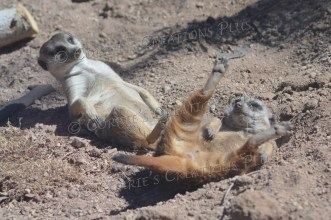 Two meerkats at play