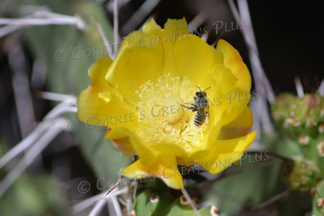 Honeybee pollinating on a prickly-pear cactus blossom