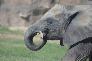 Elephants love to eat the bark from tree branches.
