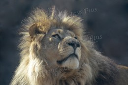 The majestic African lion