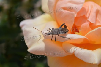 Kissing beetle on a rose in the Rose Garden at Reid Park in Tucson