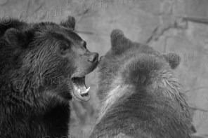 Two grizzly bears engage in playful fun--or not!