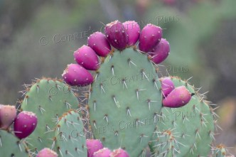 Prickly-pear cactus fruit all in a row