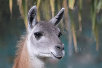 """Another photo of """"Dolly Llama"""""""