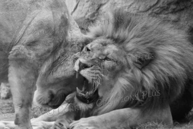 African lion and lioness