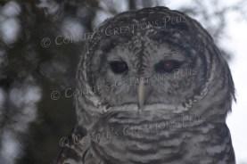 Barred owl in southeastern Nebraska
