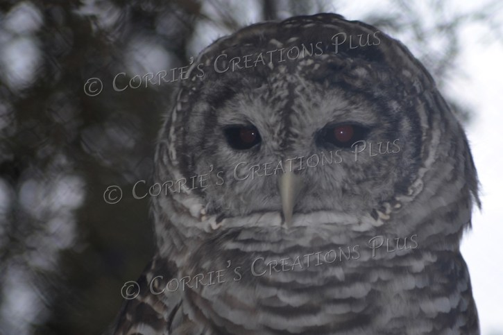 Barred owl in southeastern Nebraska