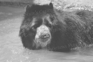 Andean bear going for a swim