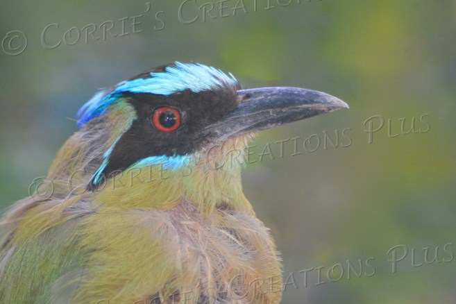 Blue-crowned motmot, a bird native to South America