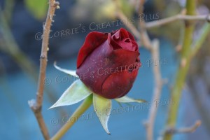Red rose; taken in Tucson, Arizona