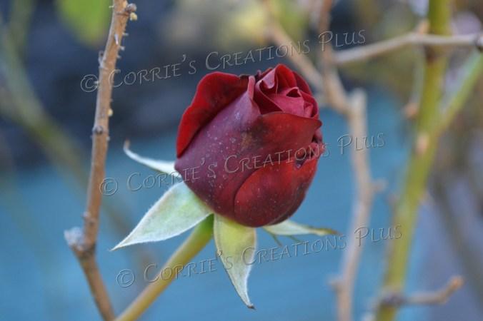 Red rose; taken in Tucson, Arizona