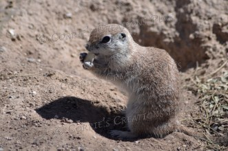 Round-tailed ground squirrel munching on a slice of apple