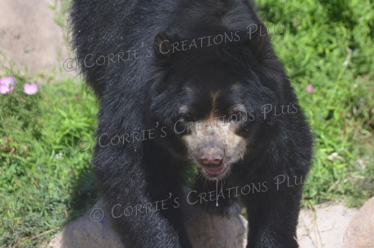 Andean bear; notice the water dripping from his mouth.