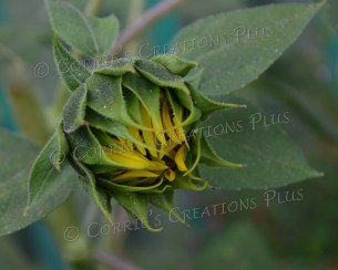 A bud of a sunflower about to burst open. Notice the detail on the leaves.