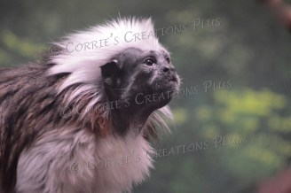 Cotton-topped tamarin