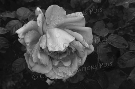 A rose just after a summer rain