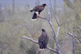 Two Harris hawks; photo taken in southern Arizona