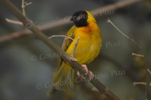 Some sort of yellow and black bird!