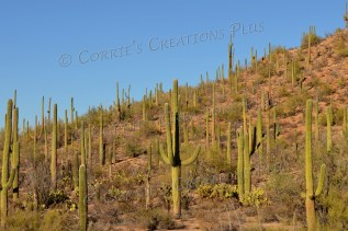 Saguaro cacti dot the landscape in southeastern Arizona.