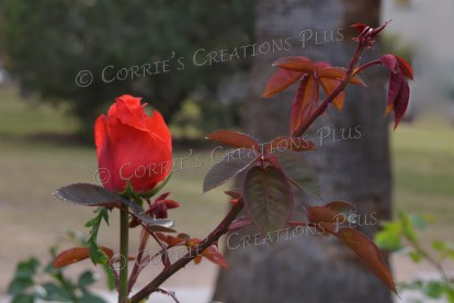 Beautiful red rose; taken in Tucson