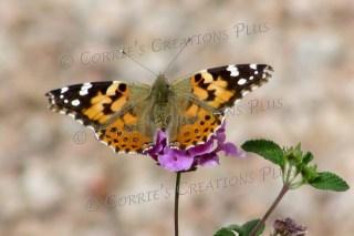 Monarch butterfly on a verbena