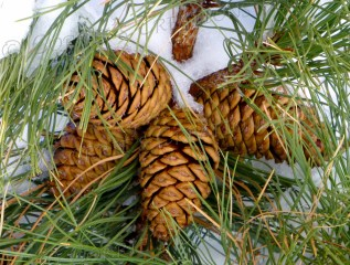 Pine cones in the snow; Catalina Mountains