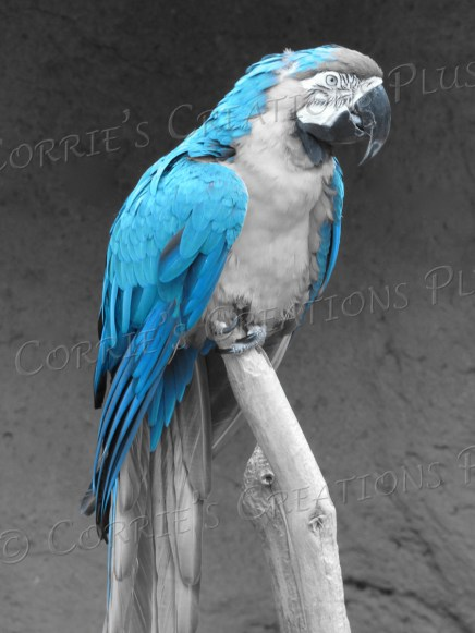 Macaw; taken in one-point-color setting