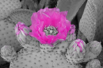 Fuchsia hedgehog cactus blossom