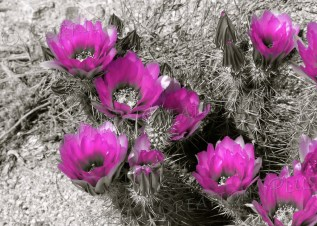 Hedgehog cactus blossoms taken in one-point color
