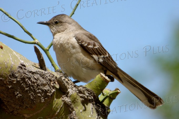 This bird perches on a palo verde tree in Tucson.