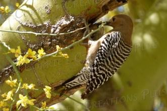 Female Gila woodpecker in a palo verde tree in Tucson