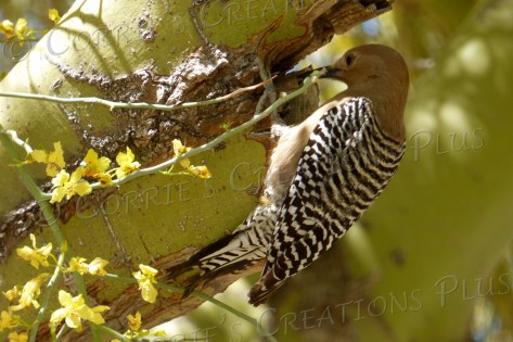 Female Gila woodpecker in a palo verde tree in Tucson