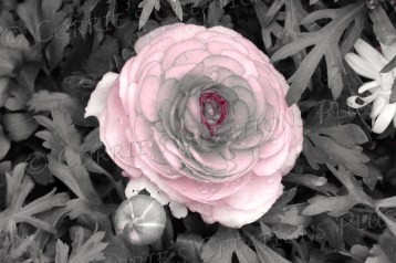 Pink rose in one-point color