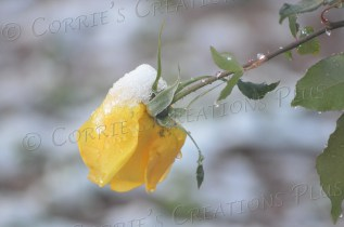 A yellow rose feels the weight of snow on New Year's Day 2015 in Tucson