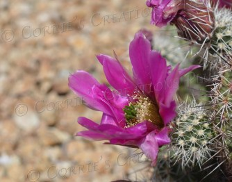 A scarlet hedgehog cactus in bloom