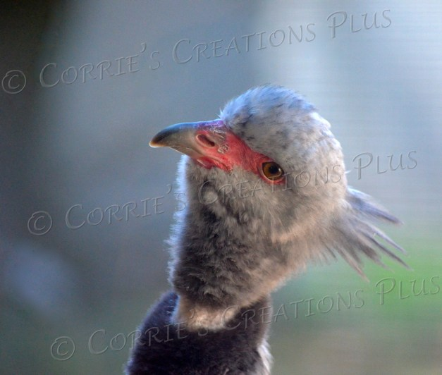 A crested screamer eyes something in the trees above him.