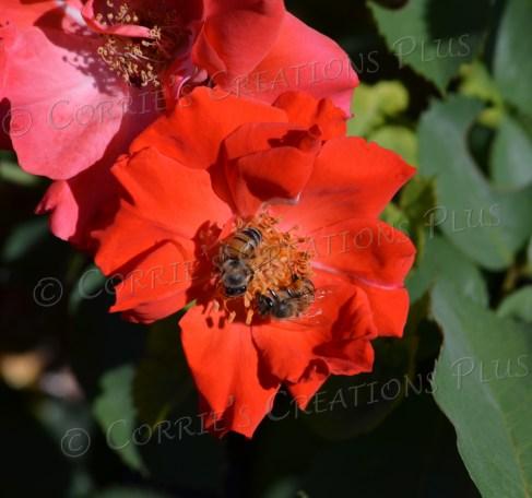 Two bees pollinating on a beautiful flower; taken at Reid Park, Tucson, Arizona