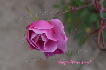 Beautiful pink rose photo taken in Tucson, Arizona