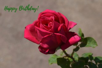 A beautiful red rose to make someone happy on their birthday