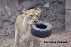 "This African lion never ""tires"" of her challenges!"
